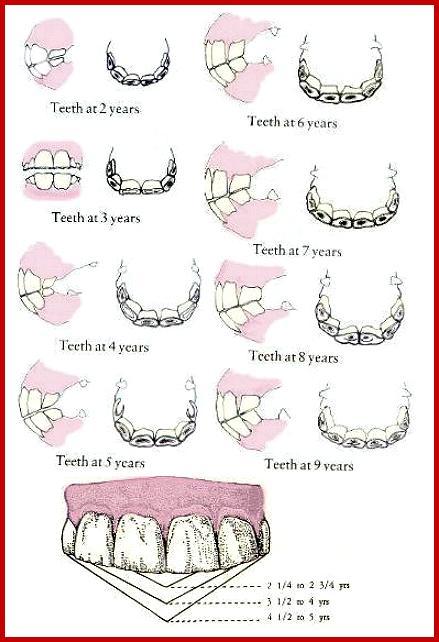 Donkey teeth ccuart Gallery